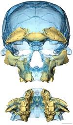 Due viste del volto di Irhoud 10. Le configurazioni moderne dello scheletro facciale erano già presenti 300 mila anni fa nei primi reperti di Homo sapiens mai trovati. Credit: Sarah Freidline, MPI EVA Leipzig.