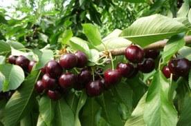 ciliegie varietà Sweet Dave di Unibo